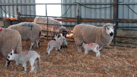 26. The lambs are numbered to match their mums