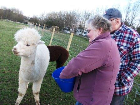 28. Now its the turn of Irene to feed the alpacas