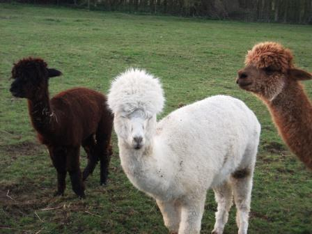33. The Alpacas are Happy now theyve been fed